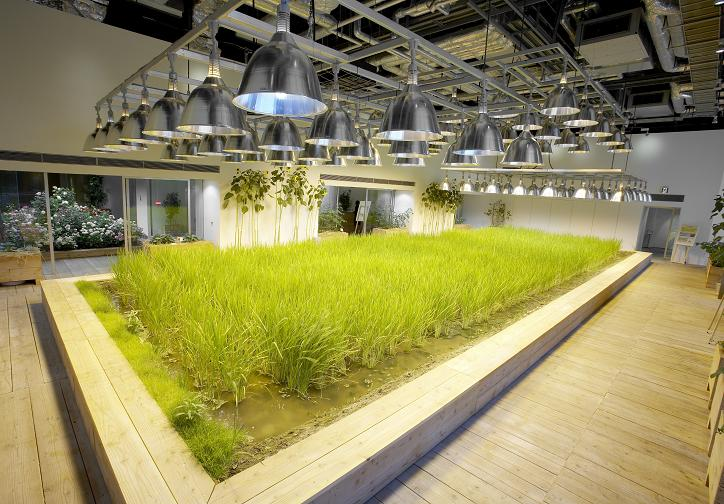 Rice fields are planted in the corridor of the office rebuildgarden