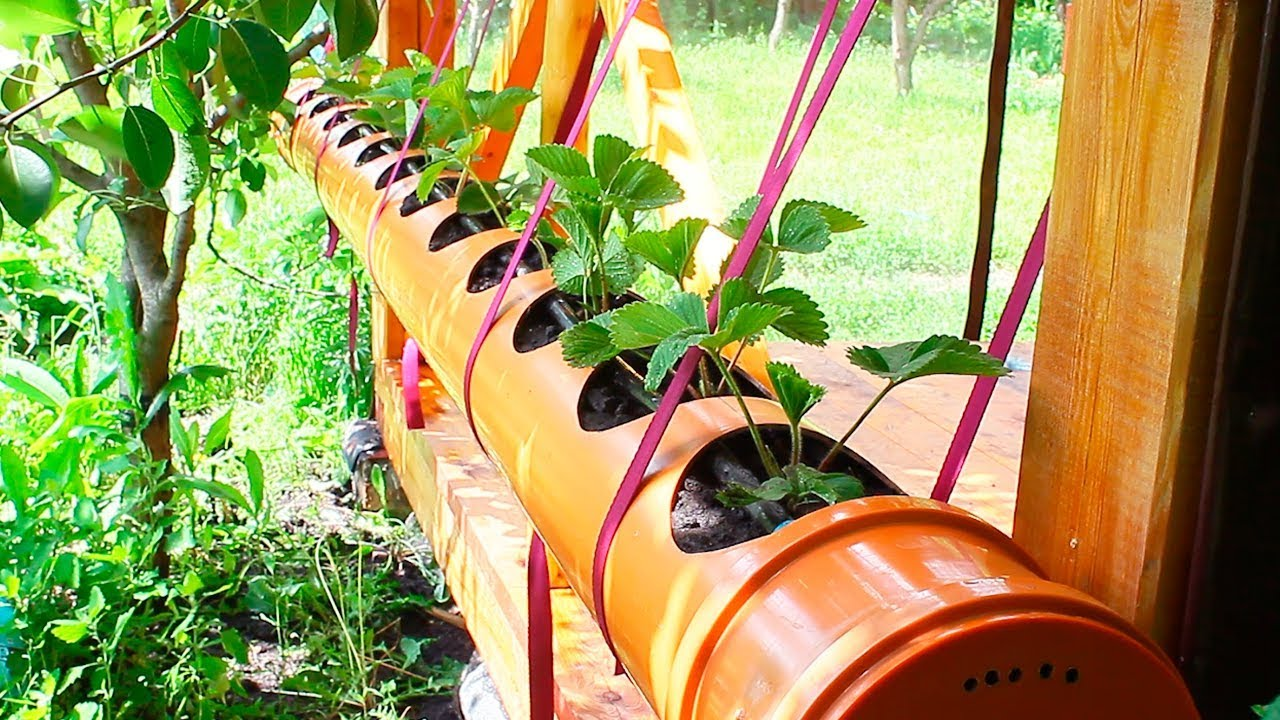 Strawberries in a PVC pipe 200 mm. Planting strawberries in a PVC pipe